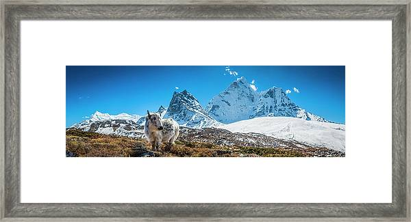 Yak Calf Grazing In High Altitude Framed Print by Fotovoyager