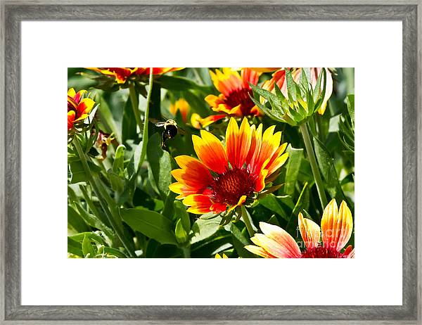 Yellow And Red Gaillardias And Bee Framed Print