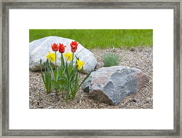 Yellow And Red Tulips With Two Rocks Framed Print