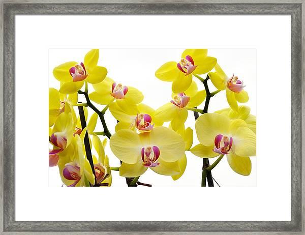 Yellow Beauties Framed Print