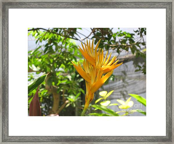 Yellow Bird Of Paradise Framed Print