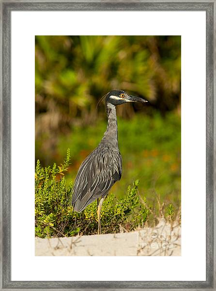 Yellow Crowned Night Heron Dune Watch Framed Print