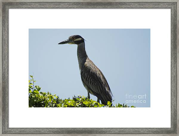 Yellow-crowned Night-heron Framed Print