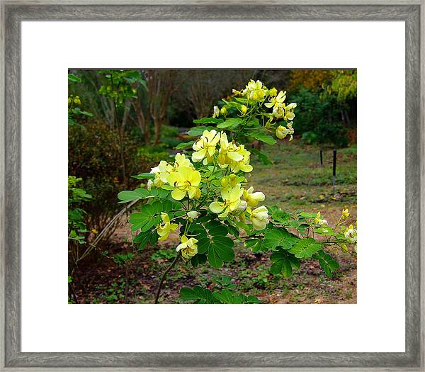 Yellow Flower Bush Framed Print by Judith Russell-Tooth