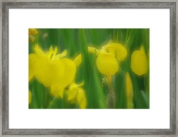 Yellow Iris Double Framed Print