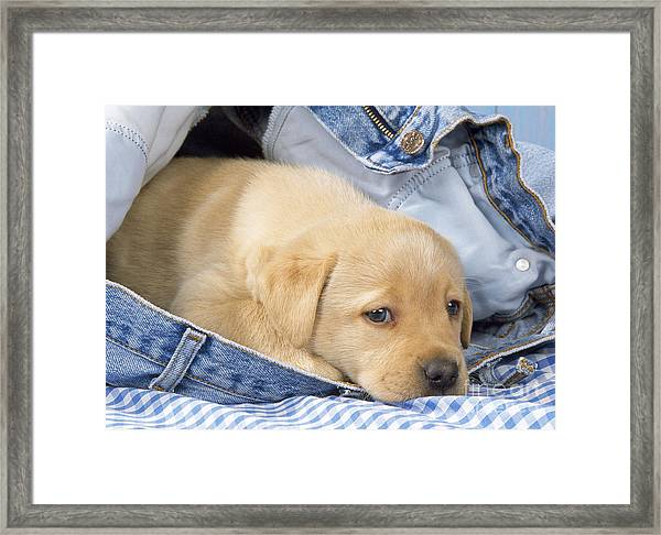 Yellow Labrador Puppy In Jeans Framed Print