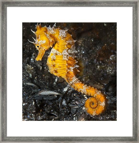 Yellow Longsnout Seahorse Framed Print