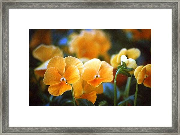 Yellow Pansy Framed Print