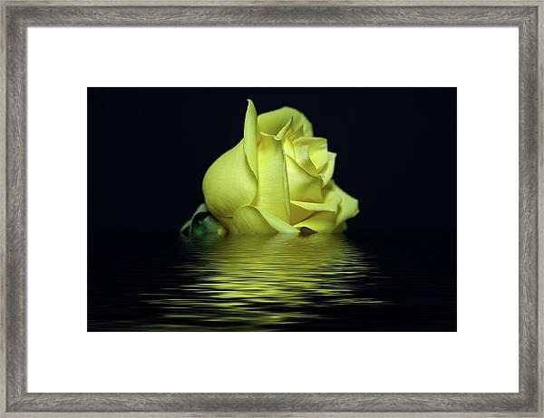 Yellow Rose II Framed Print