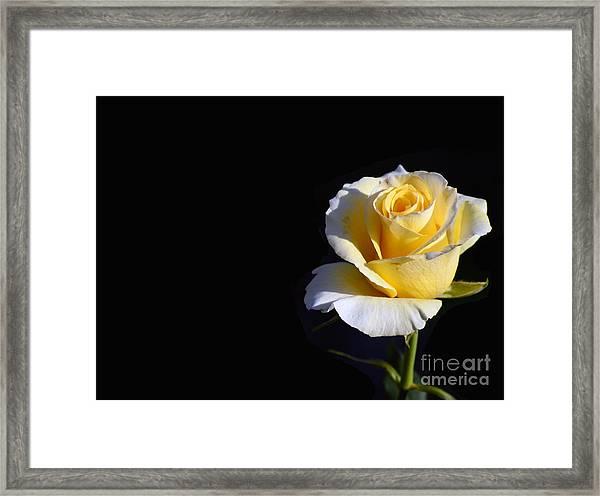 Yellow Rose On Black Framed Print
