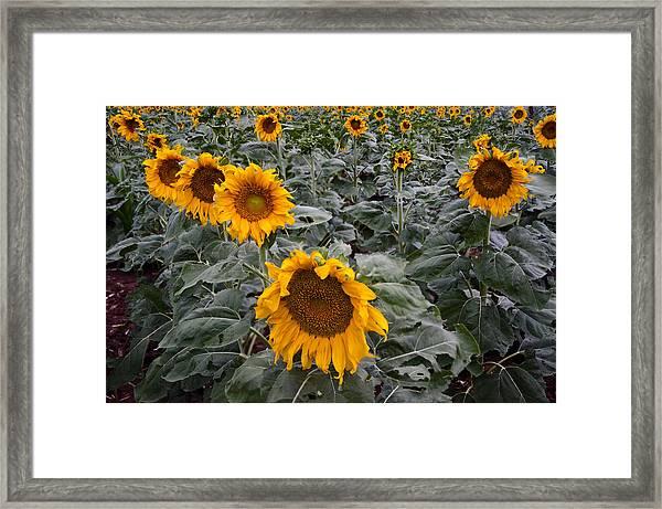 Yellow Sunflower Fields Framed Print
