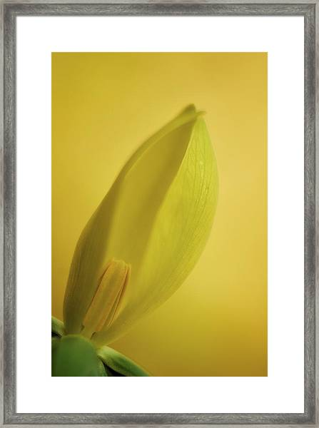 Yellow Trillium - Trillium Luteum Framed Print