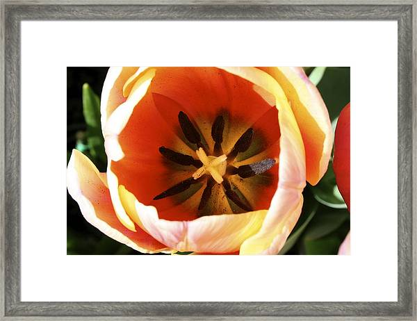 Yellow Tulip Framed Print
