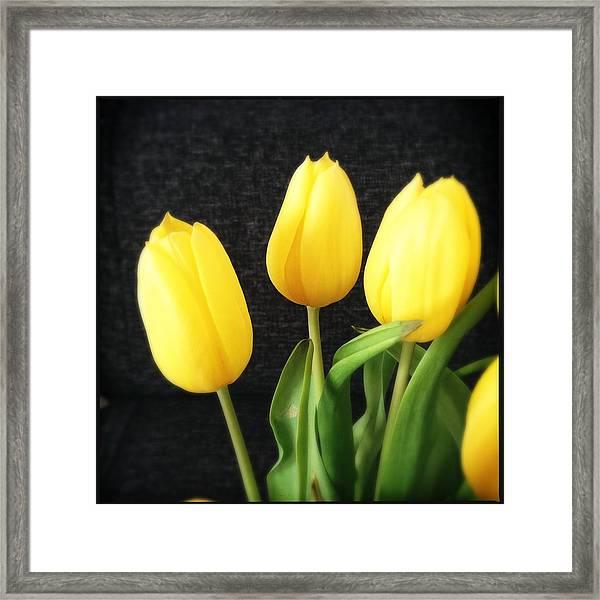 Yellow Tulips Black Background Framed Print