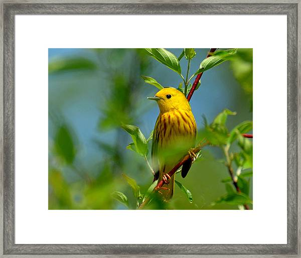 Yellow Warbler Framed Print