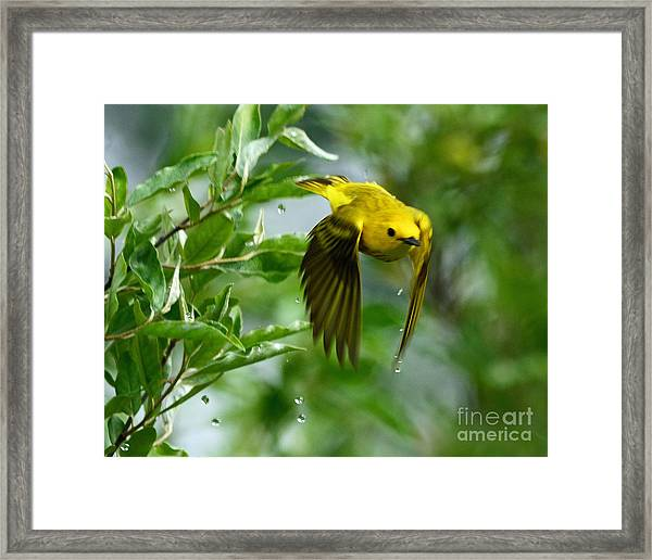 Yellow Warbler Takes Flight Framed Print