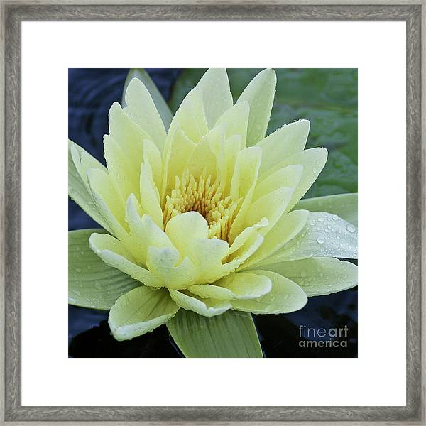 Yellow Water Lily Nymphaea Framed Print