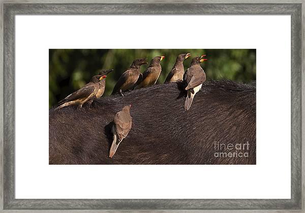 Yellowbilled Oxpeckers On Buffalo Framed Print