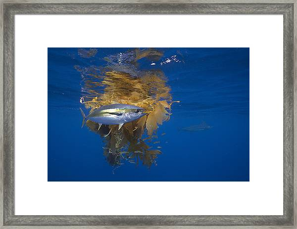 Yellowfin Tuna And Kelp Nine-mile Bank Framed Print