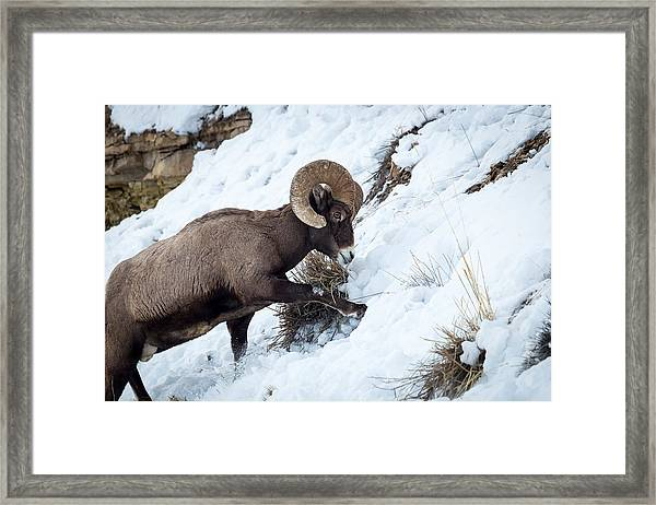 Yellowstone Bighorn Framed Print