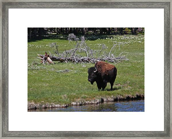 Yellowstone Bison By Nez Perce Creek Framed Print