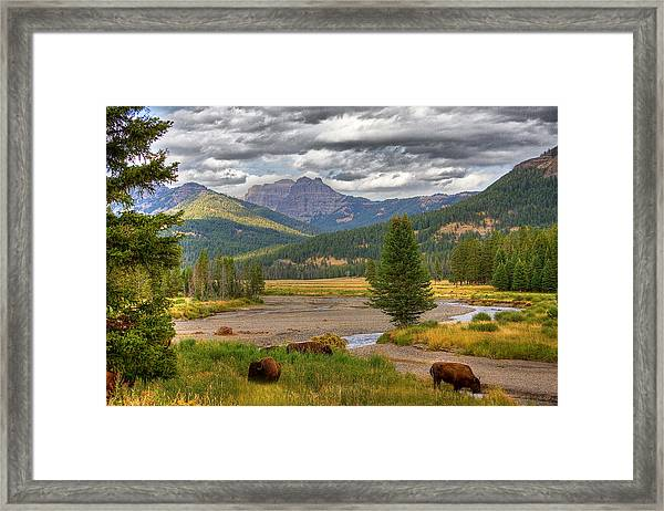 Yellowstone Bison Framed Print by Michael H Spivak