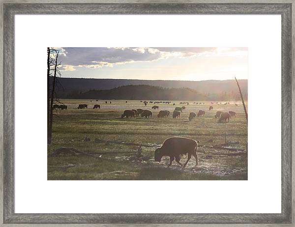 Yellowstone Bison Near Lower Geyser Basin Framed Print