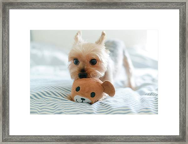 Yorkie Playing With Teddy Toy Framed Print by Cheryl Chan