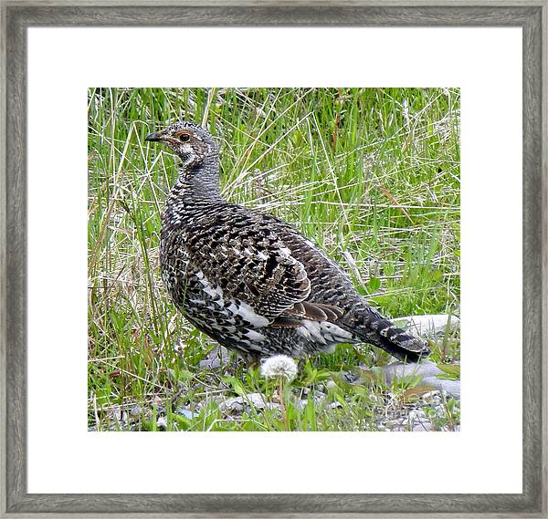 803a Franklin's Grouse - Female Framed Print