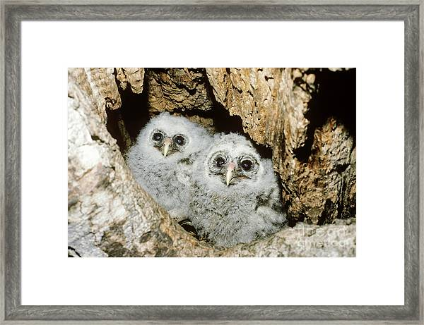 Young Barred Owls In Nest Snag Framed Print