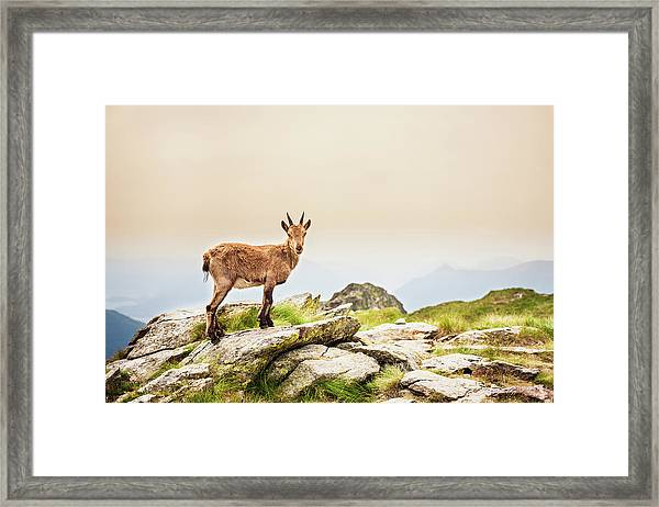 Young Ibex Alpine On The Mountain Framed Print