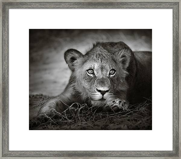 Young Lion Portrait Framed Print