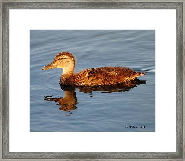 Young Mallard Hen At Ocracoke Framed Print