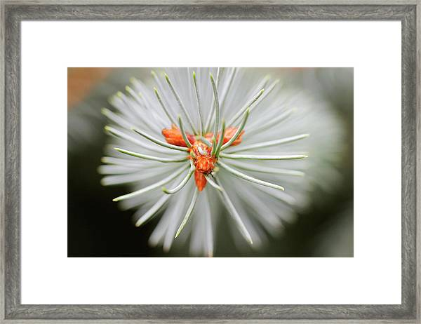 Young Spruce Cones (picea Sp.) Framed Print