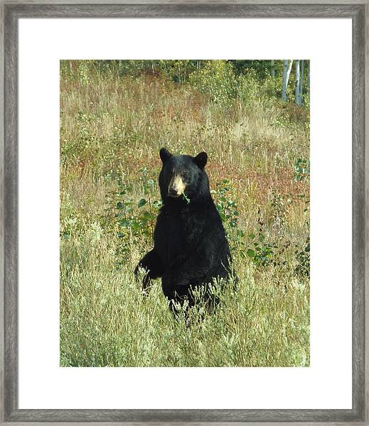Framed Print featuring the photograph Yukon Black Bear by Barbara Von Pagel