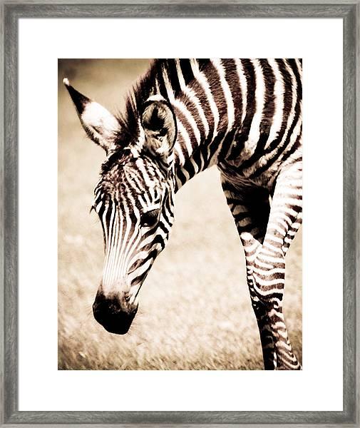 Zebra Foal Sepia Tones Framed Print