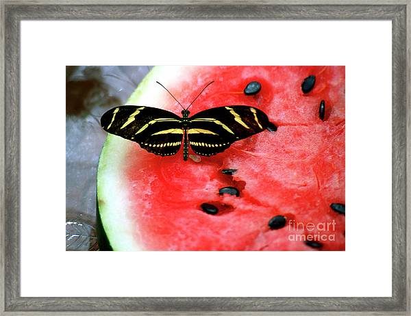 Zebra Longwing Butterfly On Watermelon Slice Framed Print
