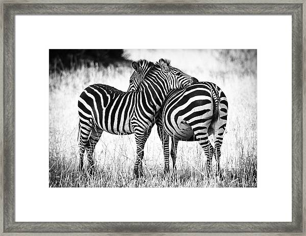Zebra Love Framed Print