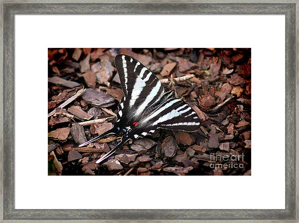 Zebra Swallowtail Butterfly Framed Print
