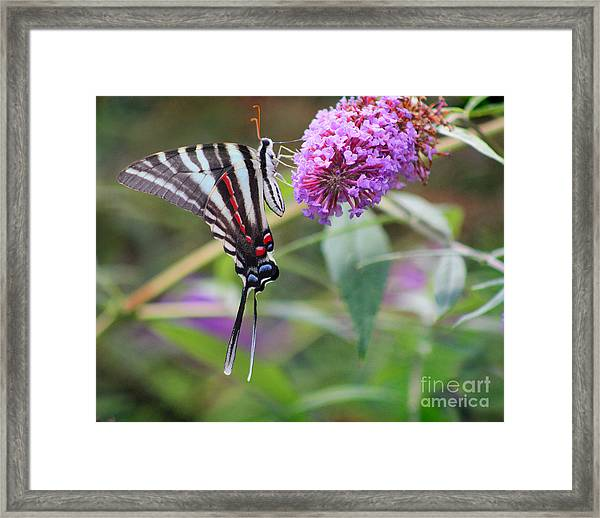 Zebra Swallowtail Butterfly On Butterfly Bush  Framed Print