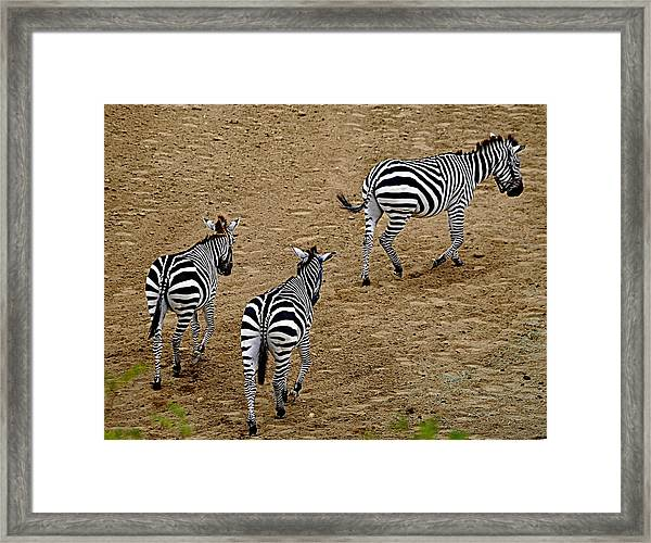 Zebra Tails Framed Print