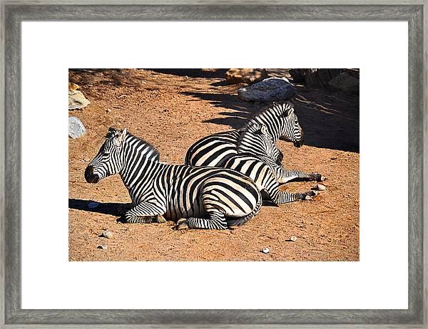 Zebra1 Framed Print