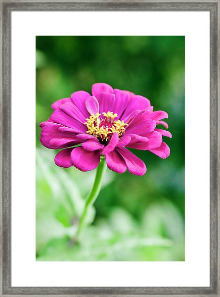 Zinnia Flower (zinnia Sp.) Framed Print by Gustoimages/science Photo Library