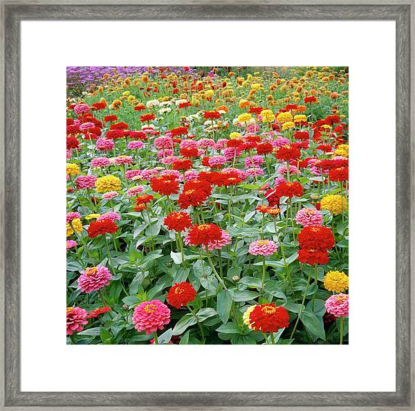 Zinnia Ruffles. Framed Print by Anthony Cooper/science Photo Library