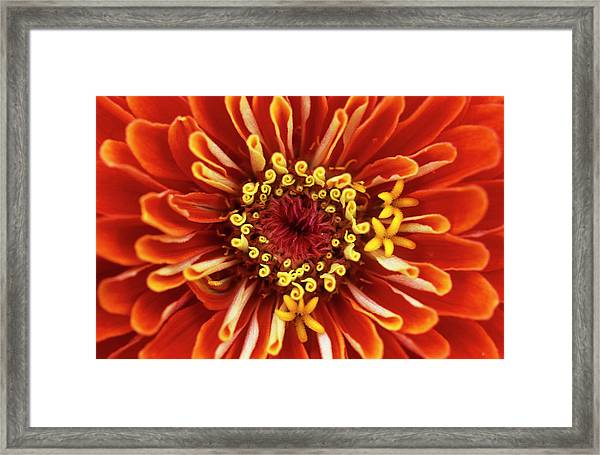 Zinnia (zinnia 'dreamland Coral') Framed Print by Jane Sugarman/science Photo Library