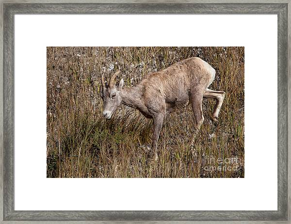 Bighorn Ewe Framed Print