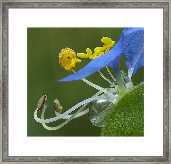 Close View Of Slender Dayflower Flower With Dew Framed Print