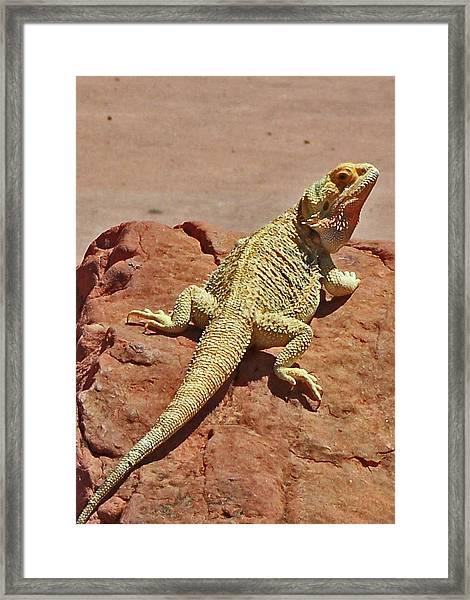 Horned Lizard Framed Print