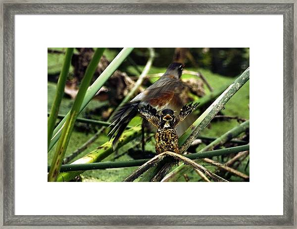 Cry Of The American Robin. Framed Print