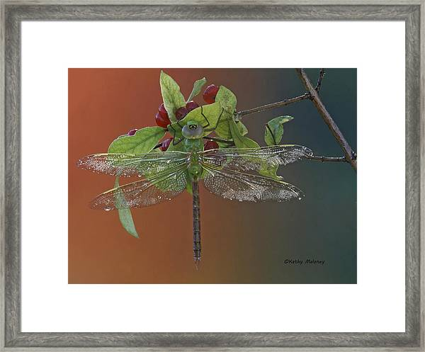 Darner On Berries Framed Print